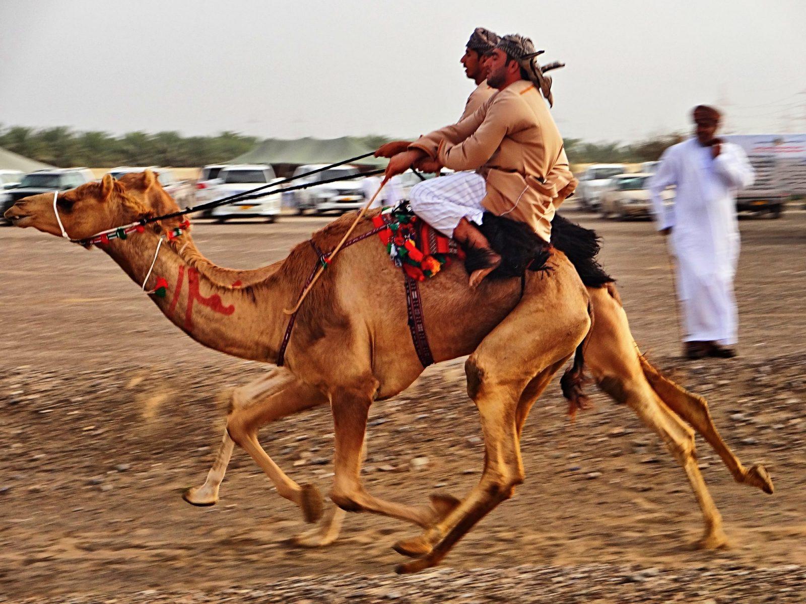 rennen der Kamele